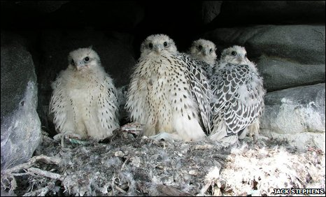 Gyrfalcon chicks in a nest