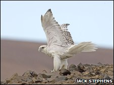 An adult gyrfalcon with white plumage