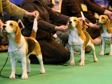 Beagles and their owners line up at Crufts 2008