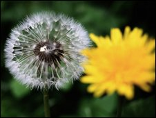A dandelion in bloom and in seed