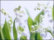 Lily of the Valley buds