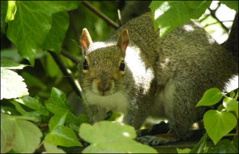 Bill White took this picture of a grey squirrel at Nells Point, Barry Island.