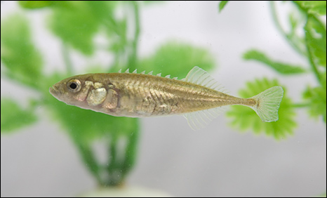 Nine-spined stickleback fish
