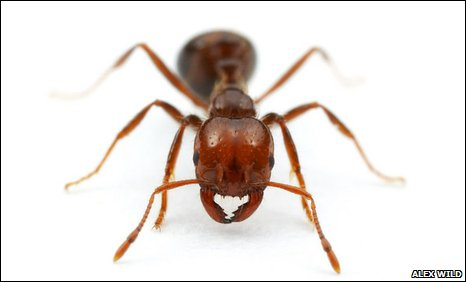 Fire ant (Solenopsis invicta)