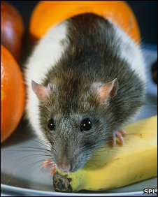 Rat in a fruit bowl