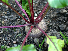 Beetroot