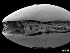 Ostracod fossil (NHM)