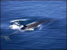 Minke whale (SPL)