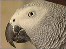 African grey parrot - generic