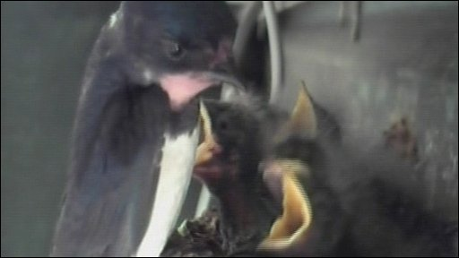 Otty's birds at 11 days old