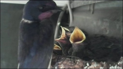 Otty's birds at 12 days old