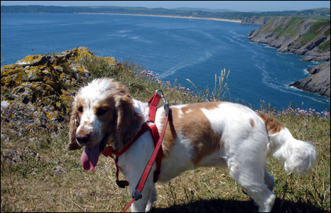 Jess the cocker spaniel poses for a photograph for owner Simon Tucker during a recent walk from Mumbles to Oxwich Bay.