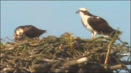 Ospreys on their nest