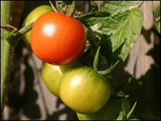 generic tomato plant