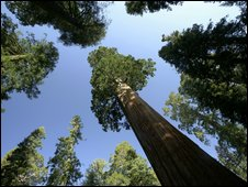 Giant sequoia (Sequoiadendron giganteum) growing in California