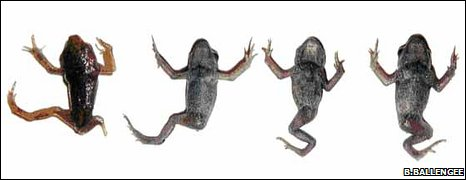 Deformed Common toads (Bufo bufo)  each with a hind leg missing