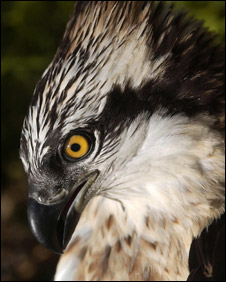 Osprey (Pic Forestry Commission)