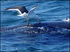 Gull pecking whale. Image: Mariano Sironi / Instituto de Conservacion de Ballenas 