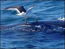 Gull pecking whale. Image: Mariano Sironi / Instituto de Conservacion de Ballenas