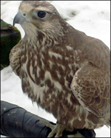 Saker falcon at 2 Wit 2 Woo