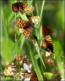 Heath fritillary butterflies at Blean Woods