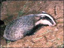 A badger leaving its sett