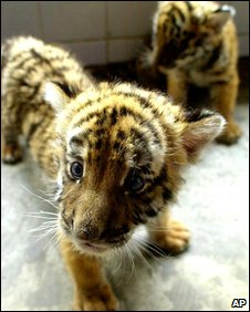 South China tiger cub (AP)