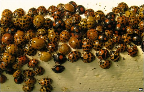Harlequin ladybirds (PA)