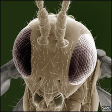 Parasitic wasp (SPL)