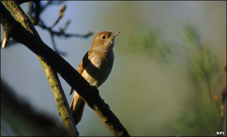 A nightingale (Luscinia megarhynchos)
