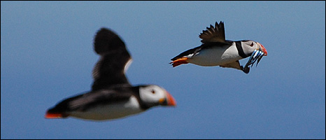 A pair of puffins in flight (Image: BBC)