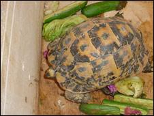 One of the Testudo Kleinmanni tortoises (Pic: HM Revenue & Customs)