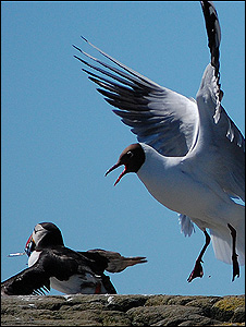 Black-headed gull and puffin (Image: BBC)