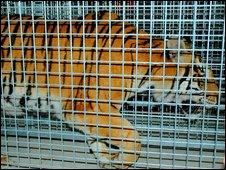 Noah's Ark tiger