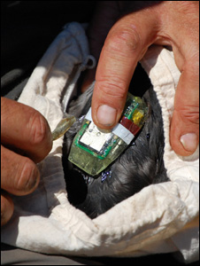 A puffin being tagged (Image: BBC)