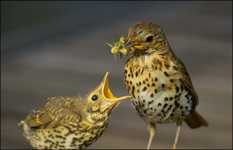 Laurence Eddy from the Rhymney Valley sent us this superb shot of a thrush feeding its fledgling in his back garden.