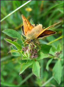 A skipper butterfly settles near a small lake in Cynghordy near Llandovery (Eileen Garske).