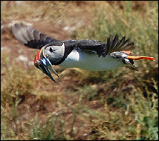 A puffin flying to its burrow (Image: BBC)