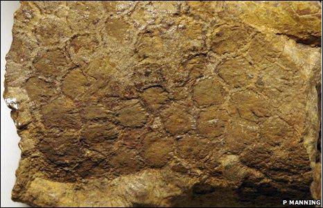 Hadrosaur fossil (P Manning)