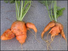 Carrots, picture by K Reilly