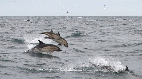 Superpod of dolphins