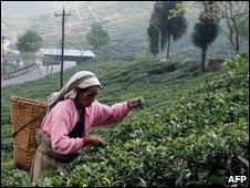 Indian tea picker