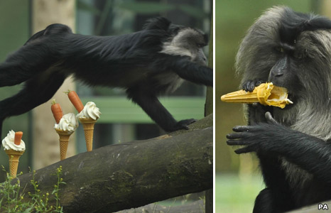 Lion-tailed Macaque monkeys at Bristol Zoo