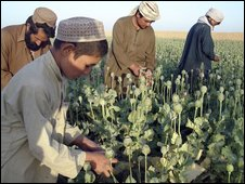 Afghan farmers work in opium poppy fields in Nawa district of Helmand province, south of Kabul, Afghanistan - April 2009