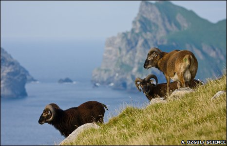 Soay sheep on Hirta, St Kilda