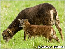 Soay sheep and lamb