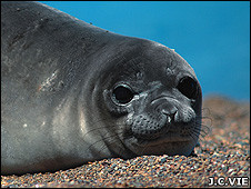 Southern elephant seal (Image: Jean-Christophe Vie/IUCN)