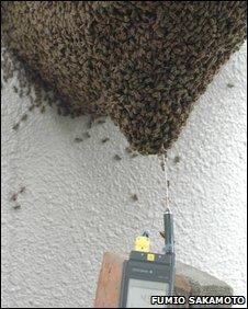 Bees mobbing a hornet
