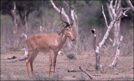 Hirola (Beatragus hunteri)