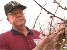 Undated picture of Kline Cash looks over the buds on peach trees